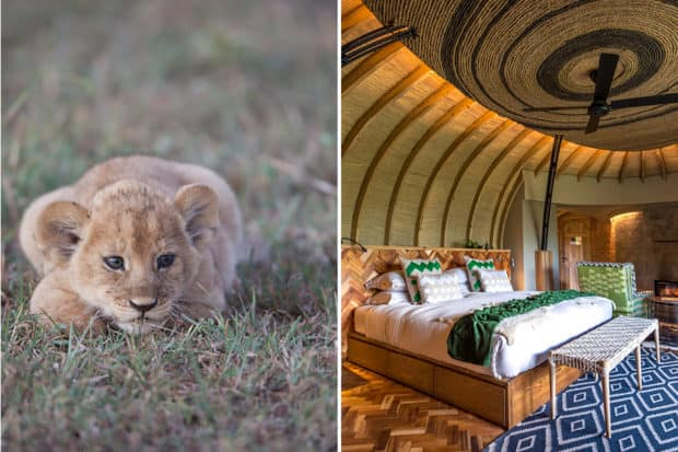 Left: A lion cub seen on a game drive at Singita Sasakwa Lodge in Tanzania; right: a colorful bedroom at Bisate Lodge in Rwanda.