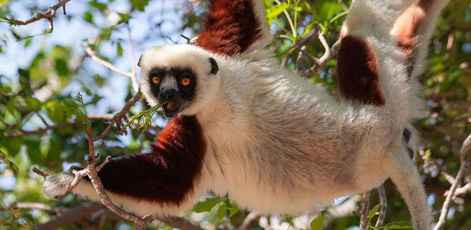 A lemur in Anjajavy forest in Madagascar