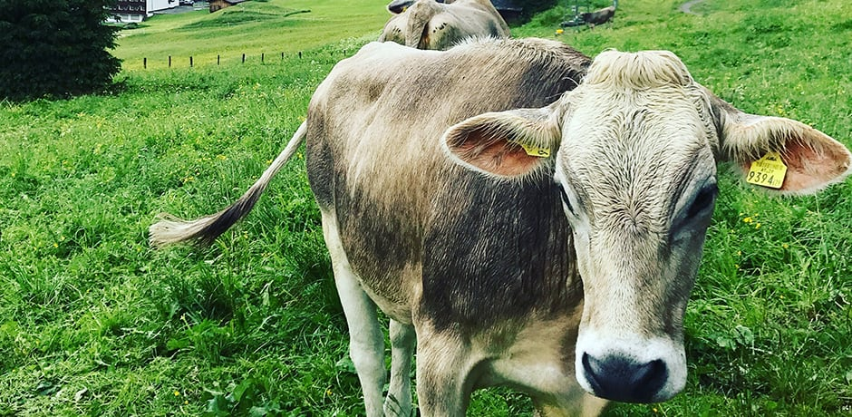Expect to run into farm animals all over Lech and listen to their iconic cow bells throughout the hills.