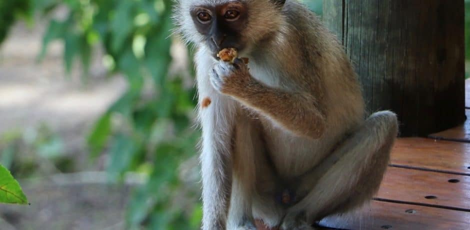 A monkey steals a snack