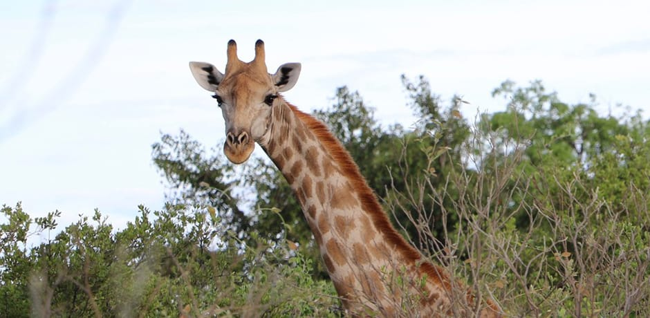 A giraffe peers over trees