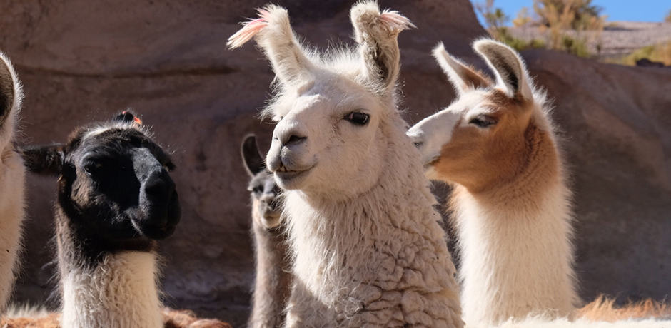 Llamas are a frequent sighting in rural Bolivia.