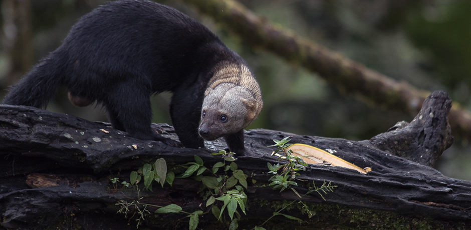 A tayra looks for food. Tayras are mostly arboreal relatives of otters and weasels.