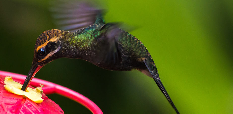 There are over 20 different kinds of hummingbirds in Ecuador, several of them endemic.