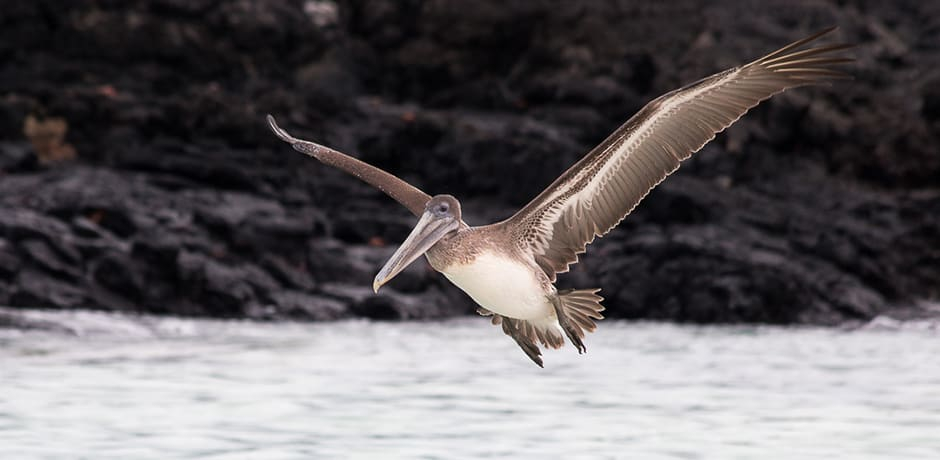 A Galapagos Brown Pelican takes off on Bachas Beach.