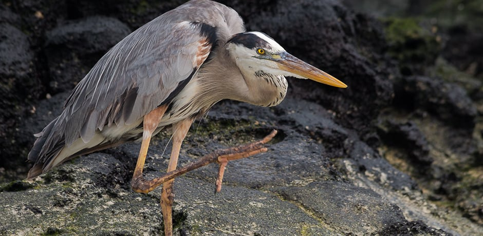 A great blue heron stretches on Bachas Beach.