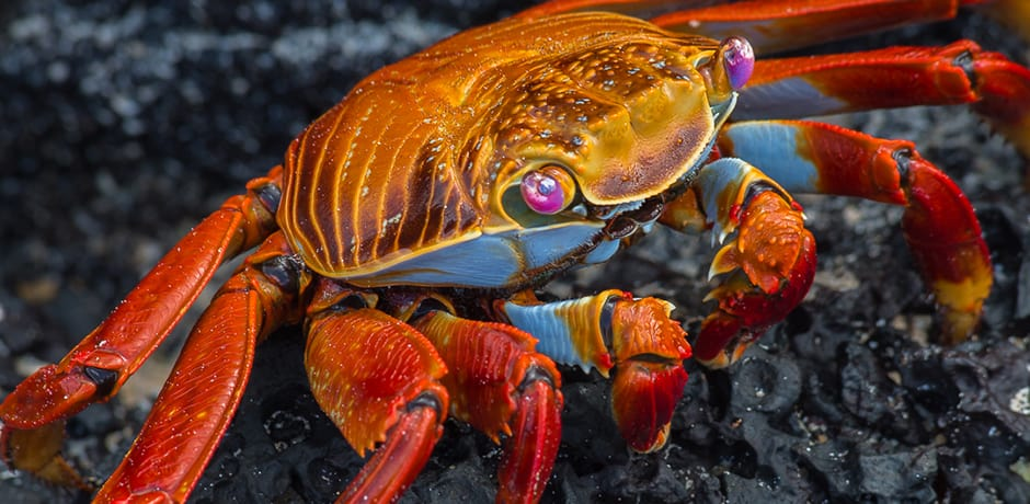 A sally lightfoot crab shows off its bright colors. The stark contrast to the black lava on which it lives would put many creatures in danger, but the crabs have few predators after youth.