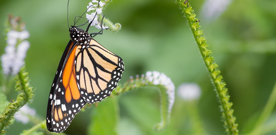 A monarch butterfly rests on a scorpion tail flower.