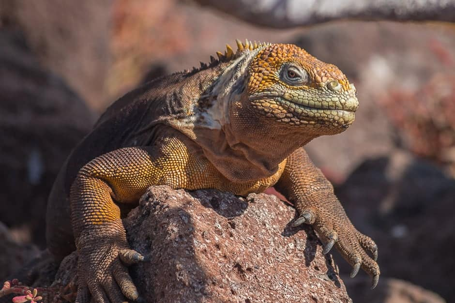 A land iguana on North Seymour. Invasive species had previously wiped out the population on this island, but they were reintroduced following the eradication programs on the island.