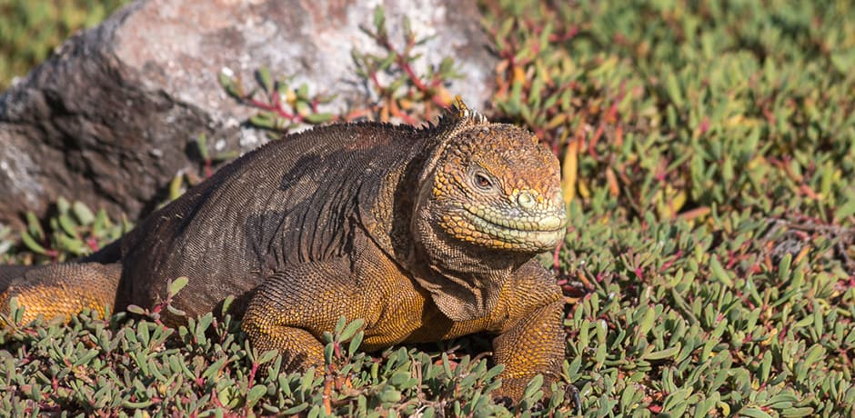 During the mating season, a land iguana's territory can be up to 70 square yards. On hot days, they often fight over shade.