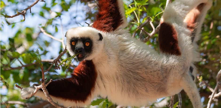 A lemur at Anjajavy le Lodge, photographed by Trip Designer Colin Heinrich while scouting in Madagascar.