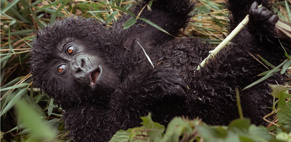 A baby gorilla in Rwanda, photographed by Trip Designer Colin Heinrich while scouting.
