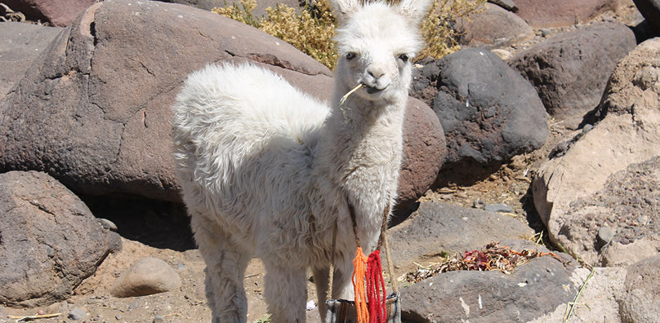 Llamas are kept as pets on Isla Incahuasi