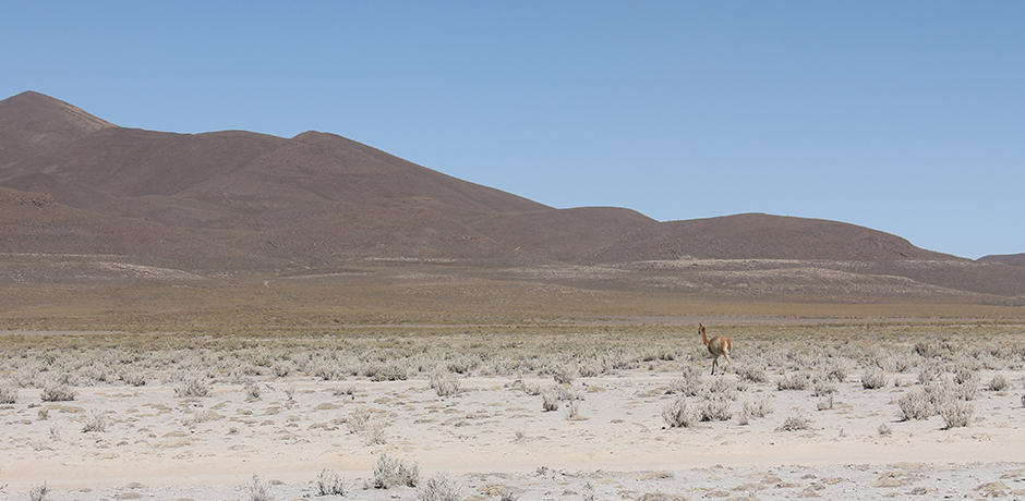 Guanaco grazing on desert plants