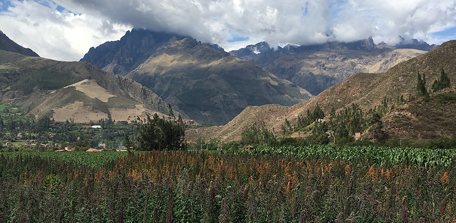 Whispering quinoa fields at the base of the Andes