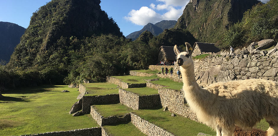 Llama takes a break from mowing Machu Picchu's lawn for a photo