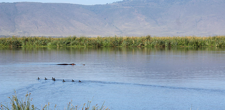 A hippo skims the surface at Hippo Lake at the Ngorongoro Crater.