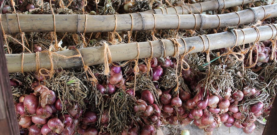 Recently harvested onions at a working farm