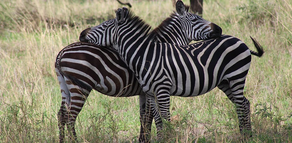 Two zebras leaning on one another