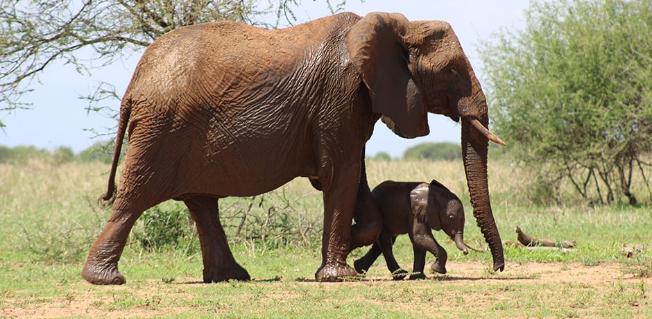 A mother and baby elephant out for a stroll in Tarangire National Park