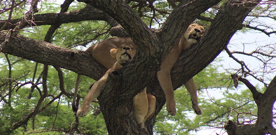 Lions lounging in a tree