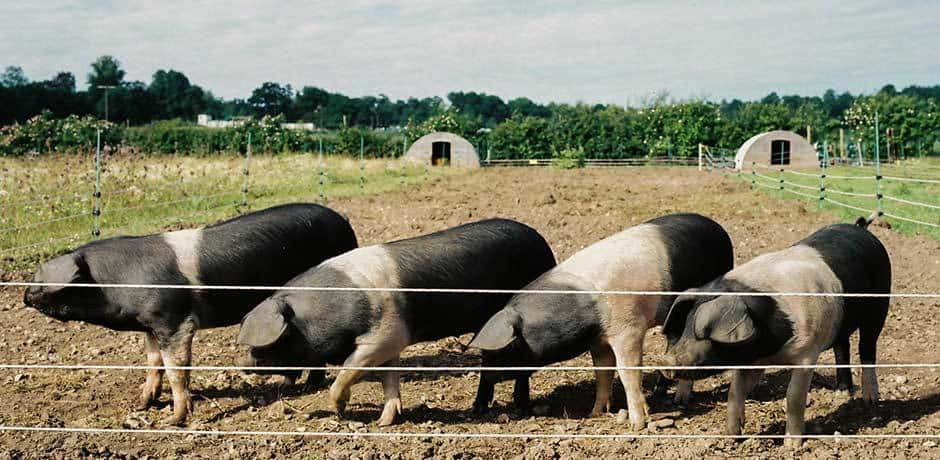 Pigs on the farm at Heckfield Place
