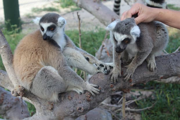 Lemurs at Necker Island