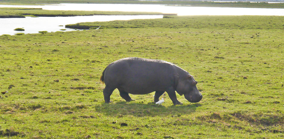 The Chobe river is home to a large population of hippos