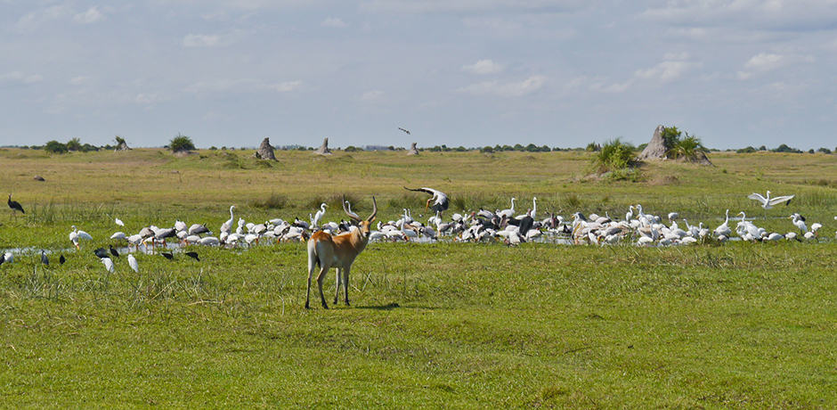 Antelope near a feeding frenzy of birds