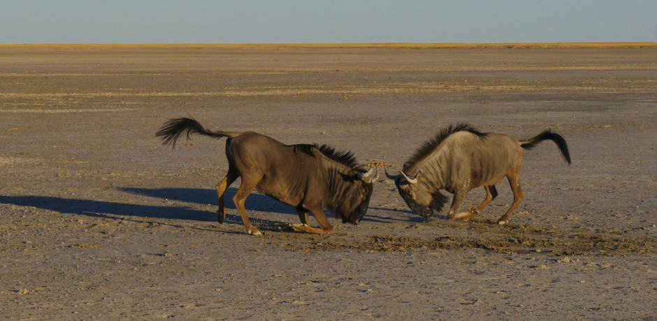 Wildebeest competing for territory