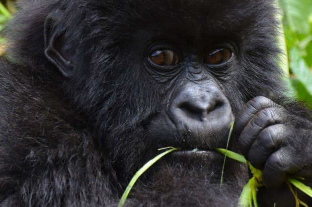indagare insider journeys gorillas in rwanda