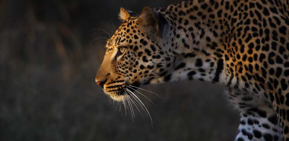 A leopard seen on a game drive at The Farmstead at Royal Malewane, South Africa. Courtesy the Royal Portfolio.