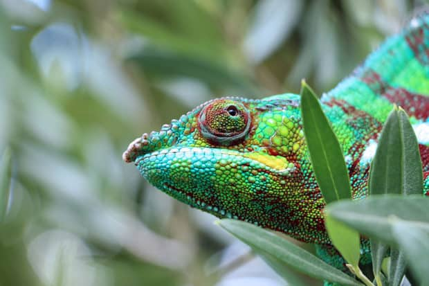 A panther chameleon in Madagascar
