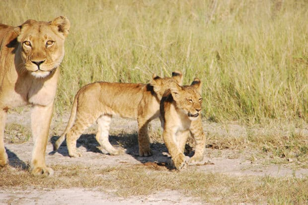 Lions in Zimbabwe, Courtesy Melissa Biggs Bradley