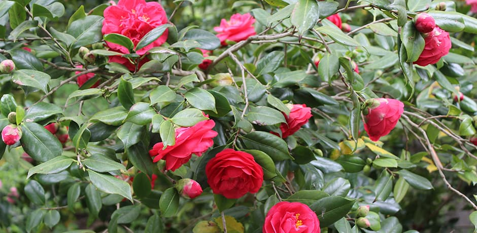 Because the property used to be a camellia farm, there are many mature shrubs with beautiful blooms.