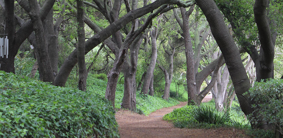 Hundred-year-old oaks, with their dramatic shapes, shade a walkway behind the resort.