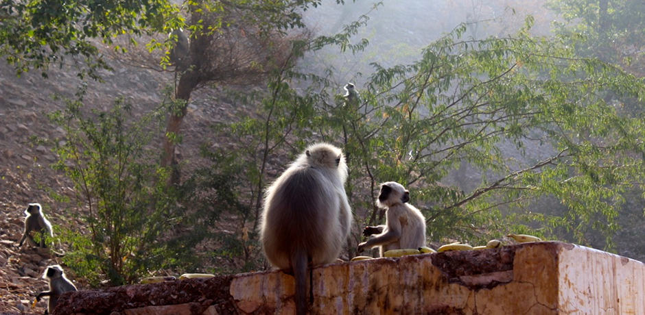 A baby monkey having breakfast near the Amber Fort outside of Jaipur.