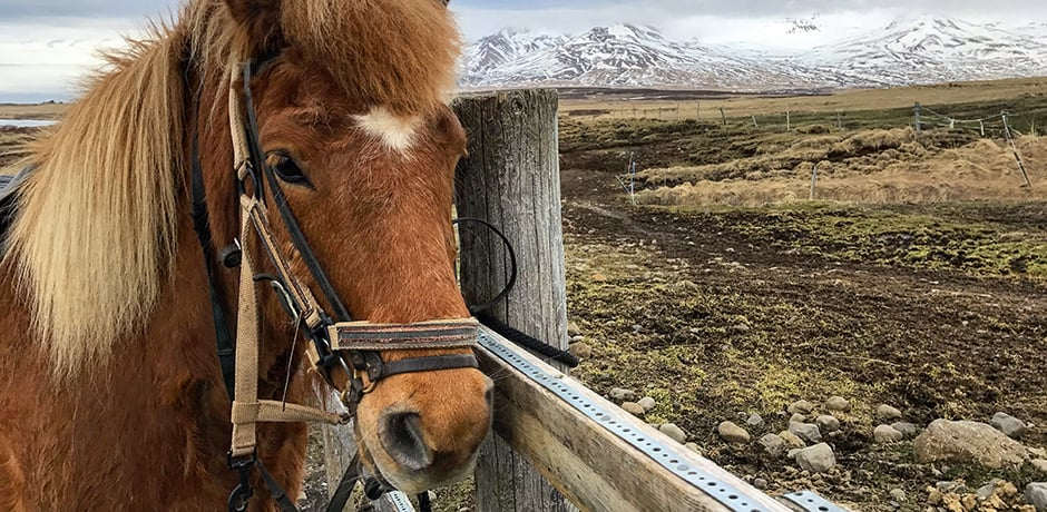 One of the best activities at Deplar Farm is horseback riding. The Icelandic horse us a pure breed and is so carefully maintained that any horse that leaves the country is not allowed back in. Similarly, no other breed of horse is allowed into Iceland.