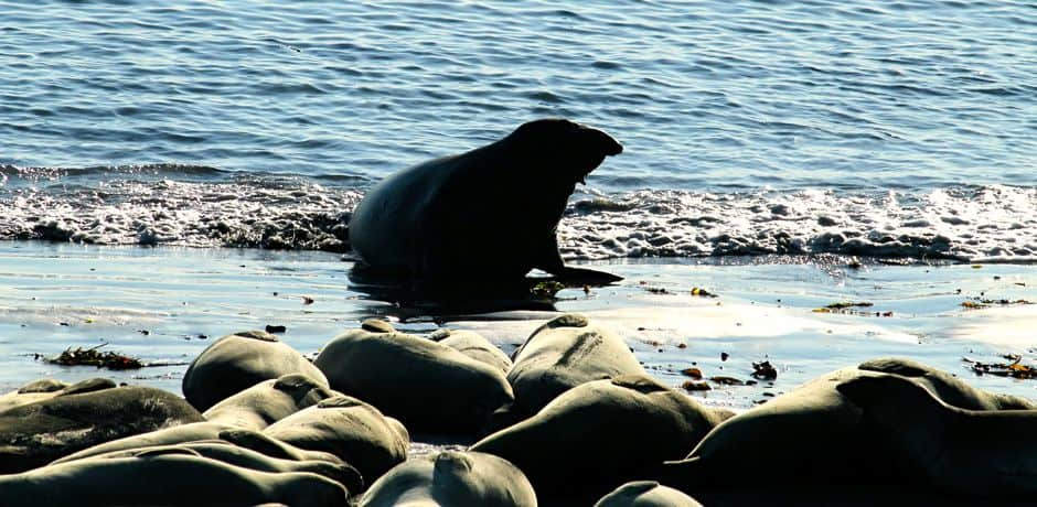Nearly any time of year you can stop at Piedras Blancas beach to find elephant seals gathered here bellowing and sunbathing in the sand.