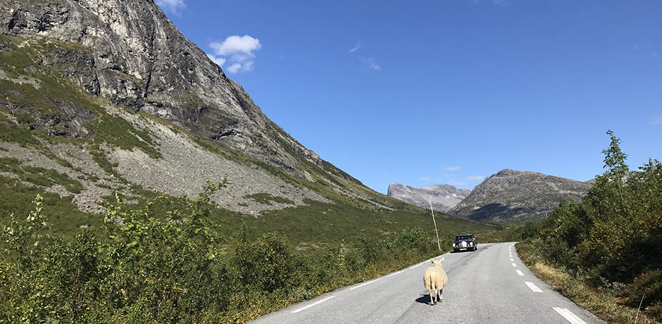 A classic Norwegian road trip sight: sheep in the middle of the road