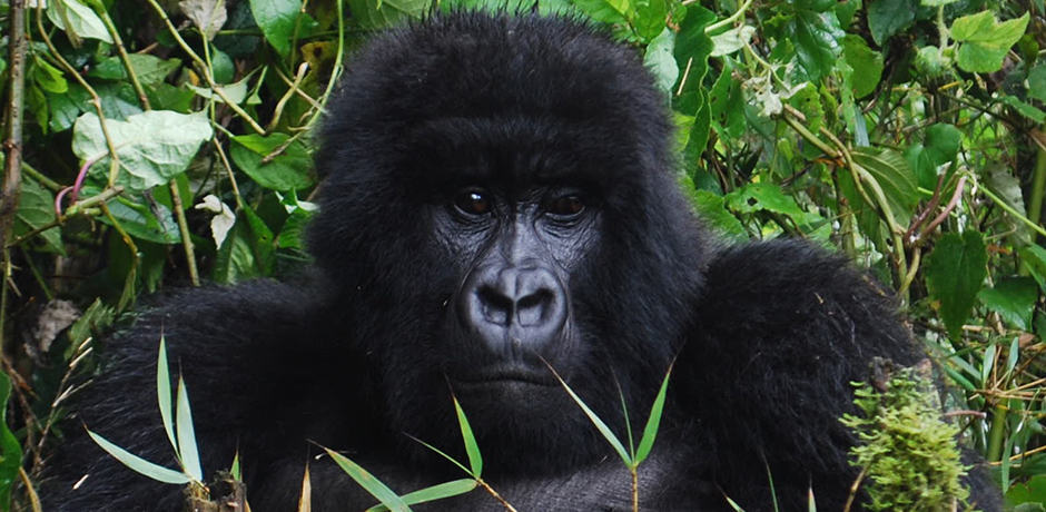 A blacback, or juvenile male, in the Agashya Group of gorillas in Volcanoes National Park.