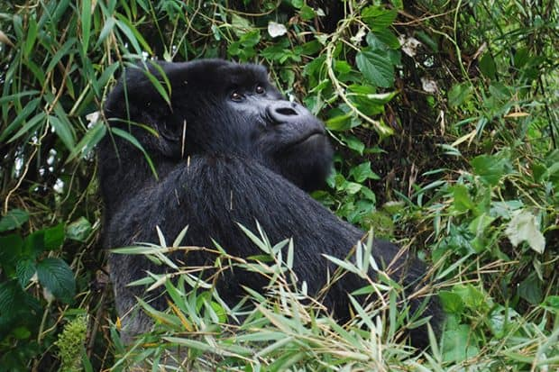Just Back From... Gorilla Trekking