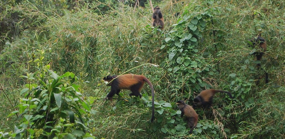 Another endangered primate, the rare golden monkey, can also be viewed in Virunga National Park on either the Rwanda or Uganda side.