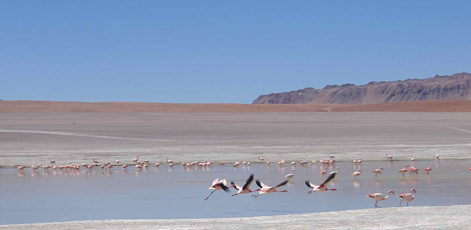 The Salar de Uyuni attracts three species of flamingo: the James, the Chilean and the Andean.