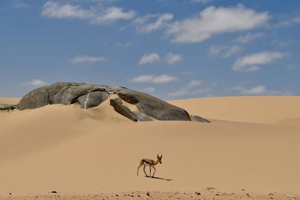 A springbok on the Skeleton Coast