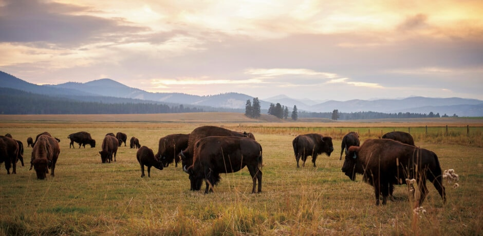 Bison at Paws Up Ranch, Montana. Photo courtesy of The Green O.