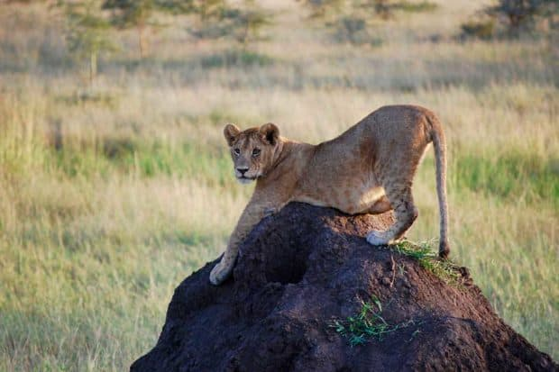 A lion stretching