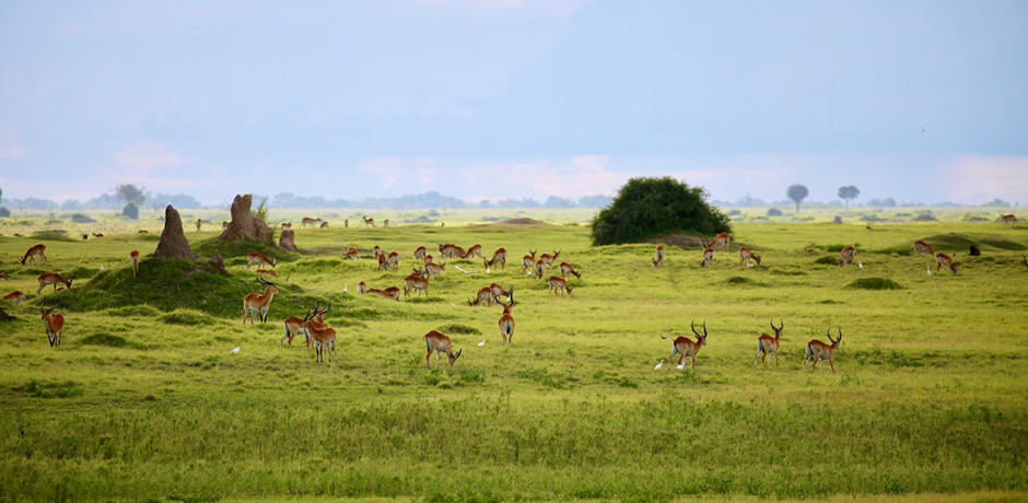 Impala, photographed by Operations Manager Rose Allen while scouting in Botswana.