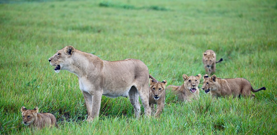 A mother lion and her cubs, photographed by Operations Manager Rose Allen while scouting in Botswana.