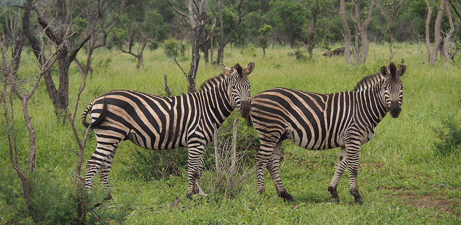 No two zebras have the same stripes
